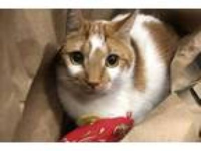 Adopt Guadalupe a Orange or Red Domestic Shorthair / Domestic Shorthair / Mixed
