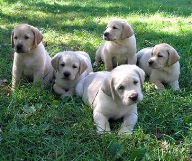 white lab puppies