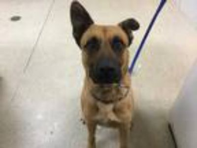 Adopt Dog a Brown/Chocolate - with Black German Shepherd Dog / Boxer / Mixed dog