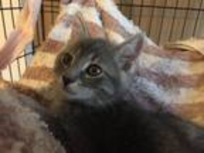 Adopt Sammie a Gray, Blue or Silver Tabby Domestic Shorthair (short coat) cat in
