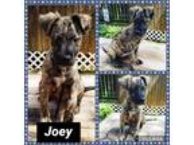 Adopt Joey a Brindle German Shepherd Dog / Boxer / Mixed dog in Ringwood