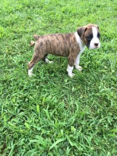Boxer PUPPY FOR SALE ADN-87690 - Bella