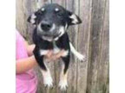 Adopt Mabeline a Black Shepherd (Unknown Type) / Mixed dog in Washington