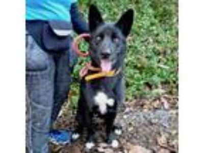 Adopt Areus a Black German Shepherd Dog / Mixed dog in Maryville, TN (25526431)