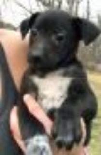 Irma Border Collie - Labrador Retriever Dog