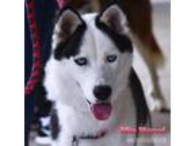 Adopt Miss Marvel a Black - with White Siberian Husky / Mixed dog in Carrollton