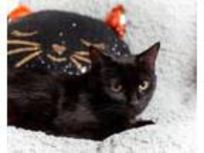 Adopt Celebration a Black (Mostly) Domestic Shorthair (short coat) cat in