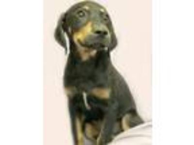 Adopt Kris a Black - with Tan, Yellow or Fawn Hound (Unknown Type) / Mixed dog