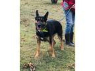 Adopt Zaidee a German Shepherd Dog