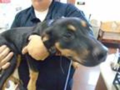 Adopt Dog a Black - with Tan, Yellow or Fawn Doberman Pinscher / Rottweiler /
