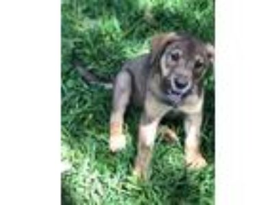 Adopt Desha a Black - with Tan, Yellow or Fawn Shepherd (Unknown Type) / Husky /
