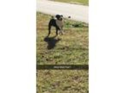 Adopt Princess a Black - with White American Pit Bull Terrier / German Pinscher