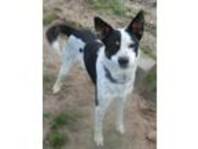 Adopt Bocephus a Tricolor (Tan/Brown & Black & White) Australian Cattle Dog /