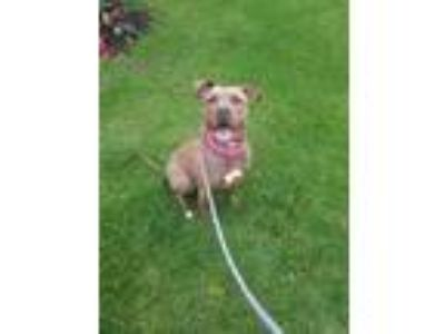 Adopt Cinnamon a Tan/Yellow/Fawn - with White Pit Bull Terrier / Mixed dog in