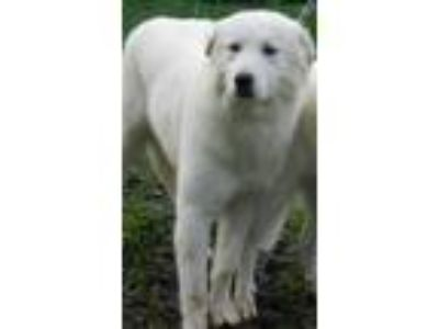 Adopt ASPEN a White Great Pyrenees / Mixed dog in Granite Bay, CA (20567635)