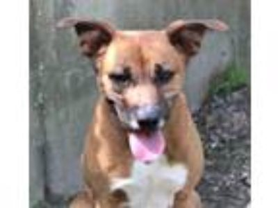 Adopt Raul a Brown/Chocolate Shepherd (Unknown Type) / Hound (Unknown Type) /
