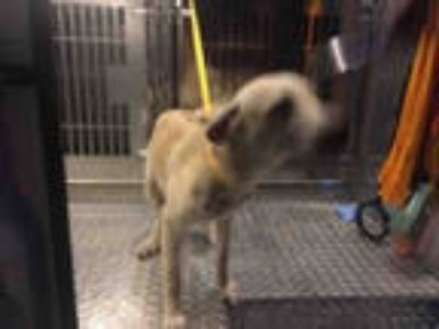 Adopt DUNE a Tan/Yellow/Fawn - with White Labrador Retriever / Mixed dog in Fort