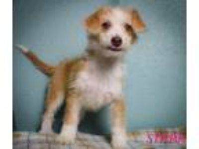 Adopt Stark a Poodle, Terrier