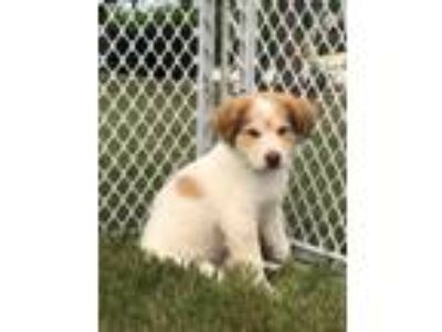 Adopt King a Great Pyrenees, Cattle Dog