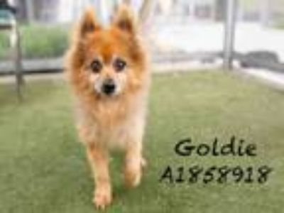 Adopt GOLDIE a Mixed Breed, Pomeranian