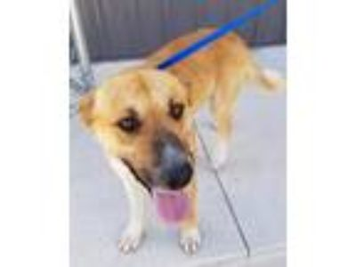 Adopt Jake a Shepherd (Unknown Type) / Retriever (Unknown Type) / Mixed dog in
