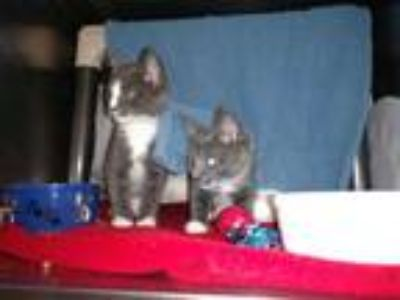 Adopt Olympic a Gray or Blue Domestic Shorthair / Domestic Shorthair / Mixed cat
