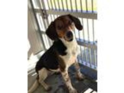 Adopt Angel a Tricolor (Tan/Brown & Black & White) Beagle / Hound (Unknown Type)