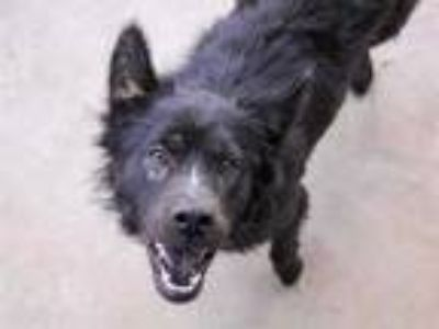 Adopt *SKITTLES a Black Chow Chow / Mixed dog in Austin, TX (25347284)