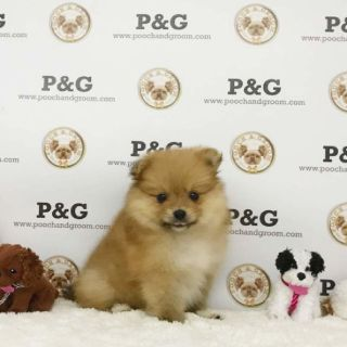 POMERANIAN - GRACE - FEMALE