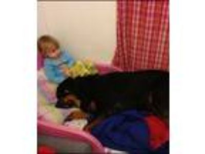 Adopt Rusty a Black - with Tan, Yellow or Fawn Rottweiler dog in Saugerties