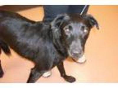 Adopt MO a Black Labrador Retriever, Collie