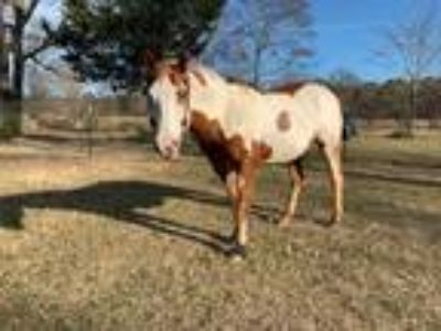 APHA trained trick horse