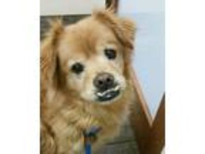 Adopt Tucker a Red/Golden/Orange/Chestnut Chow Chow / Mixed dog in Acton