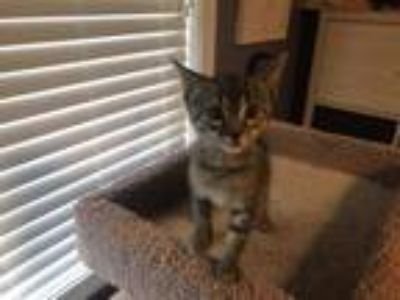 Adopt Freya a Domestic Short Hair