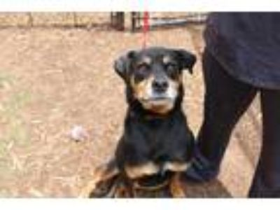 Adopt Ava a Black Labrador Retriever / Rottweiler / Mixed dog in Anderson