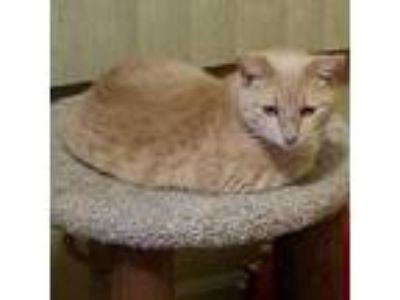 Adopt Molly a Tan or Fawn Tabby Domestic Shorthair (short coat) cat in LaGrange