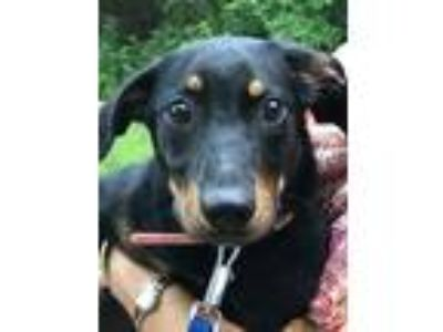 Adopt Hermoine $400 a Whippet / Mixed dog in Milwaukee, WI (25771977)