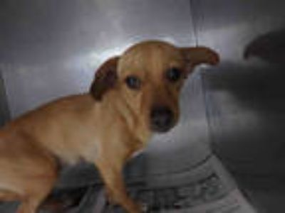 Adopt REMY a Red/Golden/Orange/Chestnut Mixed Breed (Medium) / Mixed dog in Los