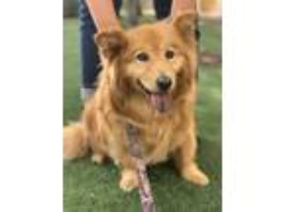 Adopt Wolfy a Red/Golden/Orange/Chestnut Corgi / Chow Chow / Mixed dog in Lodi
