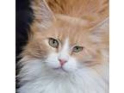 Adopt Jules a Orange or Red Domestic Longhair / Domestic Shorthair / Mixed cat