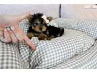 Giselle TEACUPS / TINY FINANCING YORKIE FOR SALE