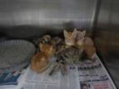 Adopt a Tan or Fawn American Shorthair / Mixed (short coat) cat in Temple