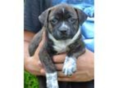 Adopt Mitchell - Dakota City Litter a Brown/Chocolate - with White Cattle Dog /