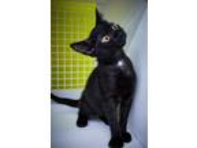 Adopt Charcoal a Black (Mostly) Domestic Shorthair / Mixed (short coat) cat in