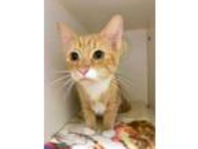 Adopt Leia a Orange or Red Domestic Shorthair / Domestic Shorthair / Mixed cat