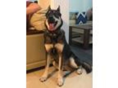 Adopt David a Black - with Tan, Yellow or Fawn Siberian Husky / German Shepherd
