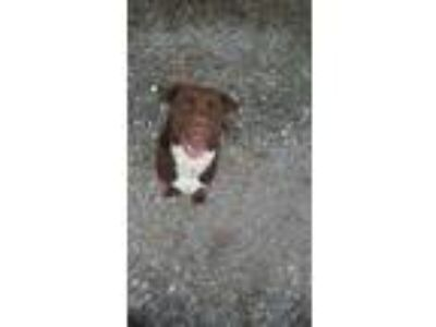 Adopt Bunny a Brown/Chocolate Labrador Retriever / Dogo Argentino / Mixed dog in
