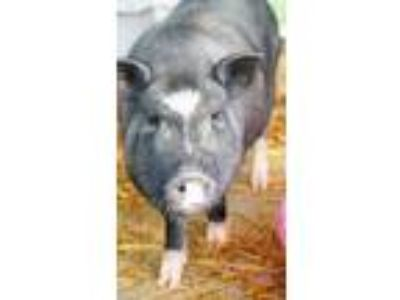 Adopt Piggy a Pig (Farm) / Pig (Farm) / Mixed farm-type animal in Bowling Green
