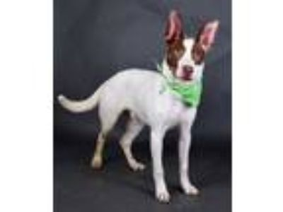 Adopt Jax a White Retriever (Unknown Type) / Mixed dog in Irving, TX (25354687)