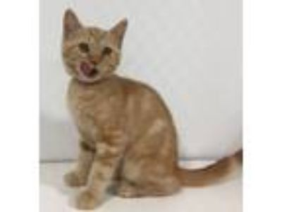 Adopt Prissy a Orange or Red Tabby Domestic Shorthair (short coat) cat in